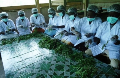 Improving nutrition for Pregnant Women and Children with Moringa